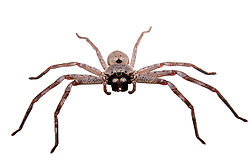 250px-Huntsman_spider_white_bg03